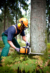 logger cutting tree with chainsaw