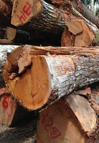 Genuine Mahogany log pile